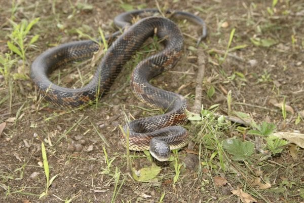 Snakes are predators of quail nests and chicks. Most snakes are protected under state or federal laws.