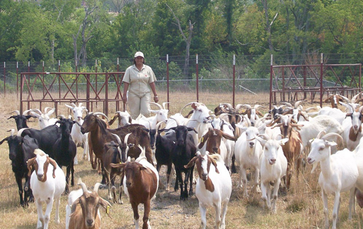Extension Specialist with goat herd in an enclosed grazing area effected by drought.