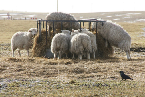 Flock of sheep eating hay out of a circular hay holder.