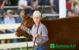 Alabama 4-H member participating in the Livestock Judging Contest