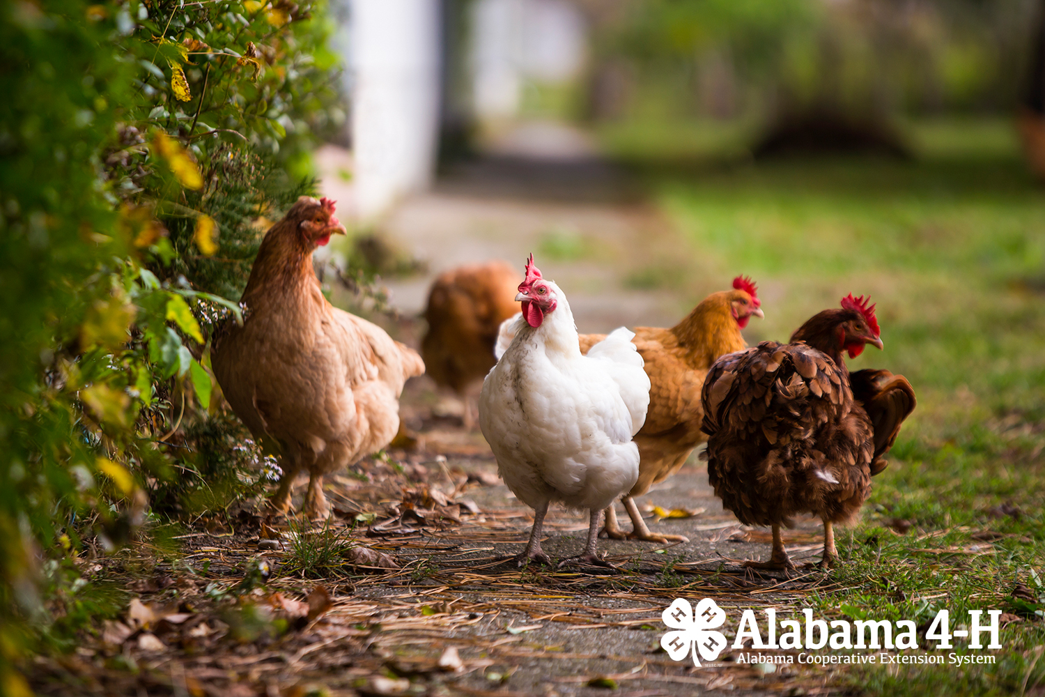 Alabama 4-H Poultry Project