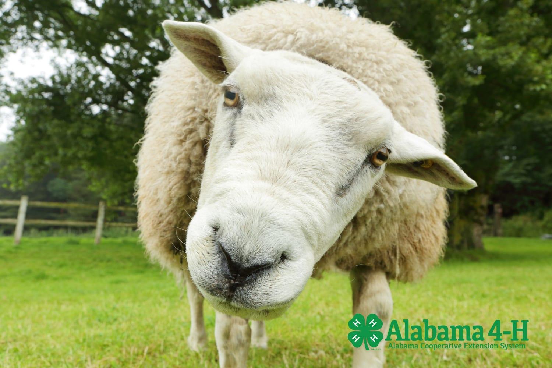Alabama 4-H livestock quiz bowl sheep