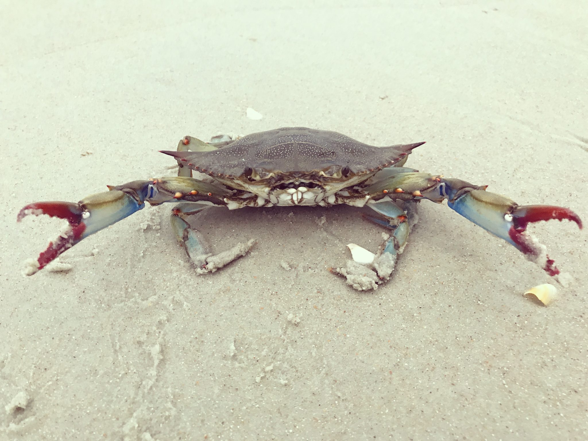 Blue crab with his claws raised in warning.