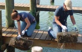 Marine oyster gardening