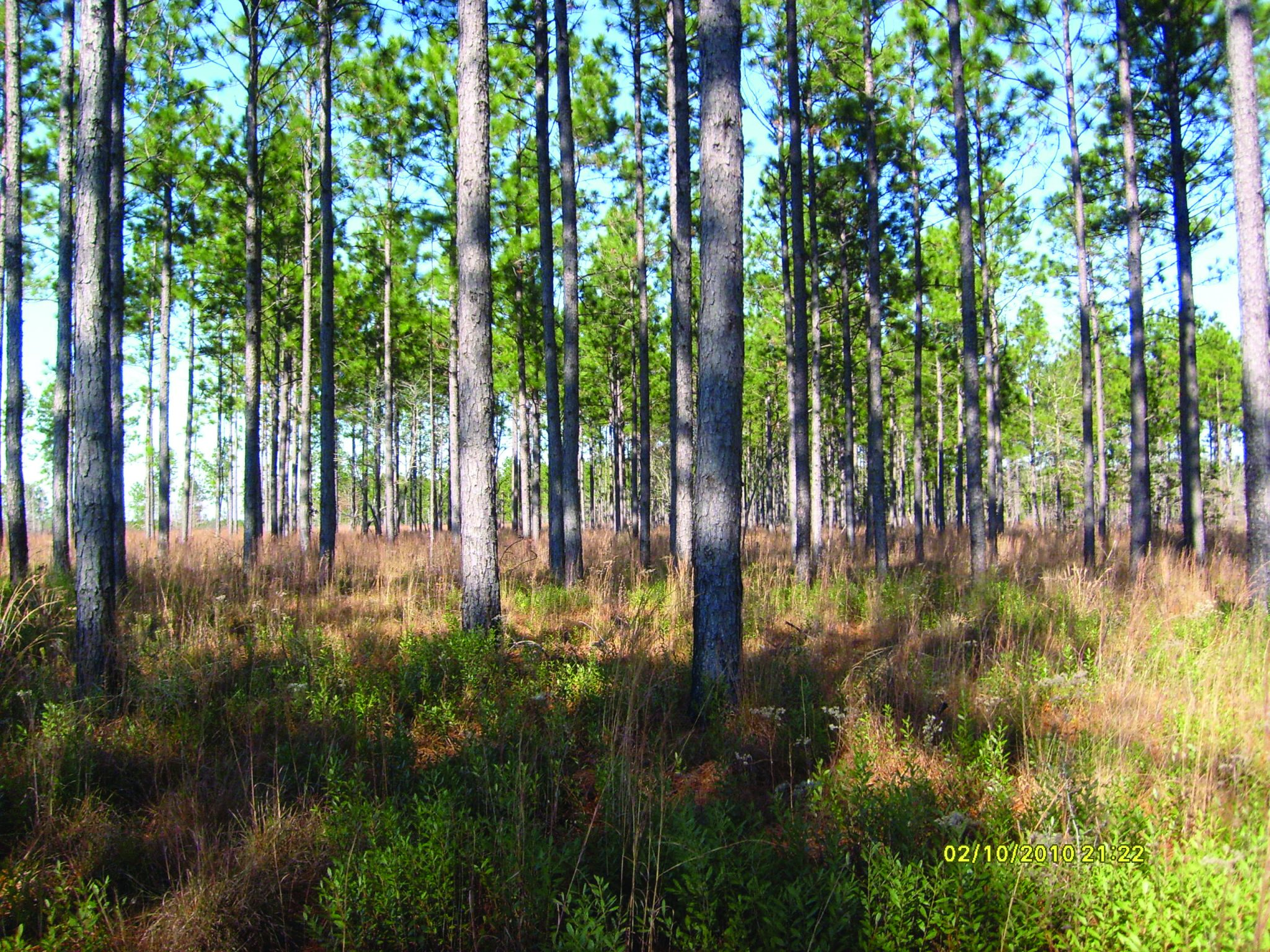 "This is a stand of longleaf pine (Pinus palustris Mill.) with an average basal area of 95 square feet per acre. Basal area is often stated simply as ""95 square feet of basal area"" or ""95 BA."""