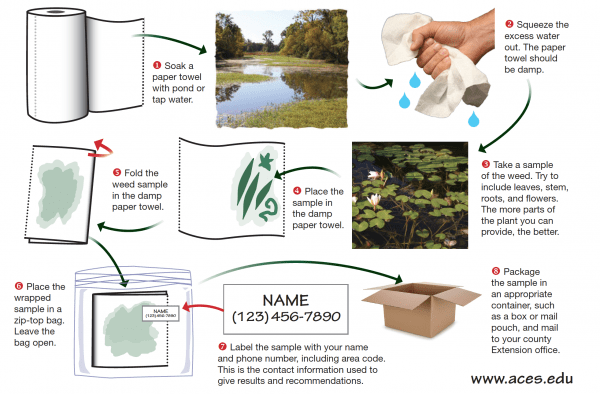 Illustration of 8 steps to successfully submit a pond weed sample.