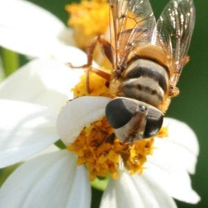 Adult syrphid fly