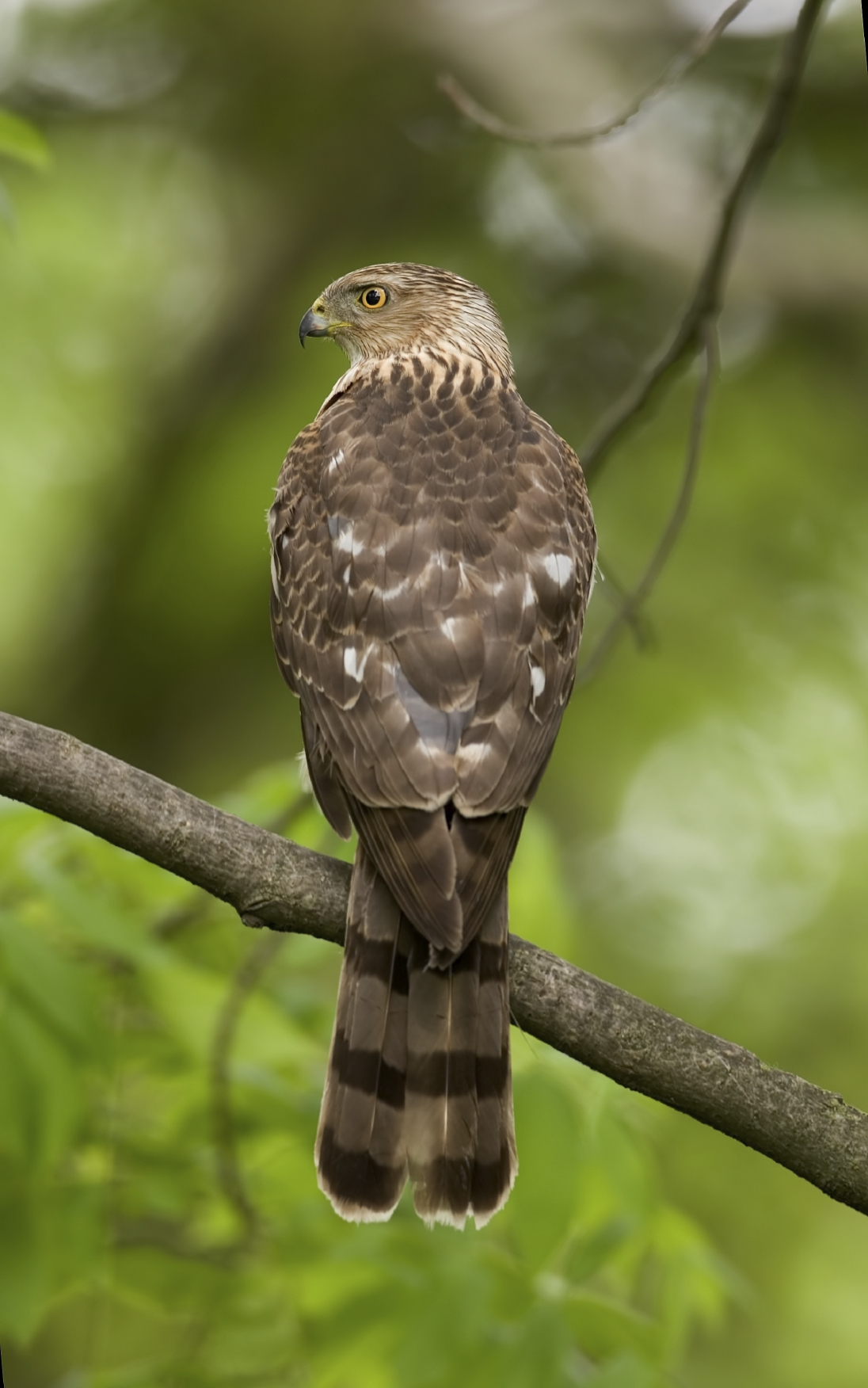 Cooper's hawk sitting on a tree branch.
