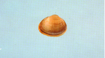 Figure 1. Fingernail clam (Photo courtesy of the Illinois Natural History Survey)
