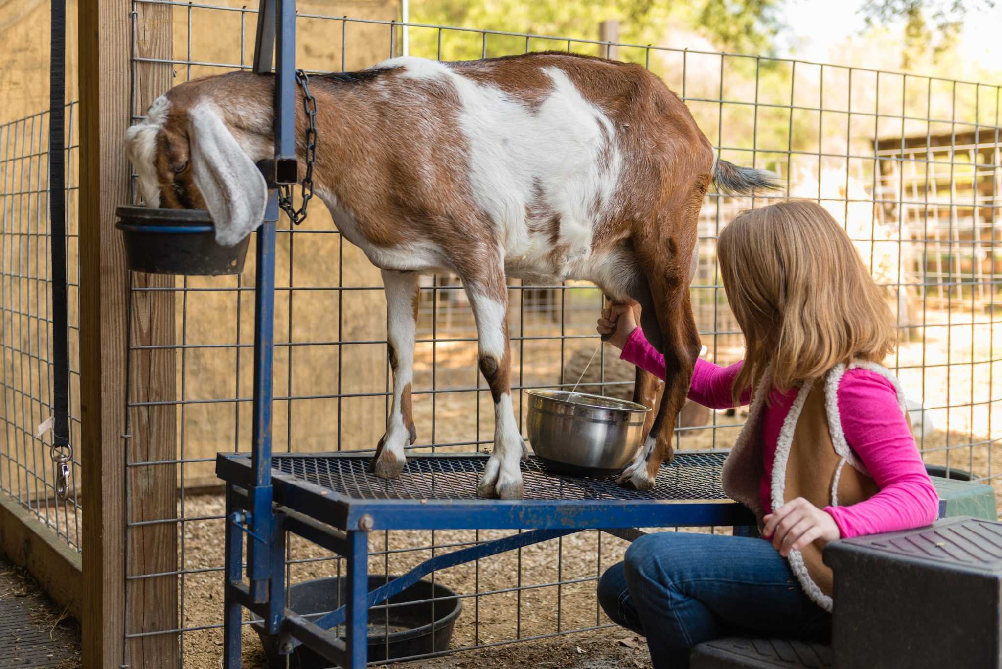 A young girl milking a goat on a working farm.