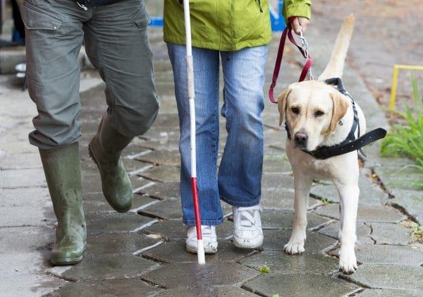 A blind person is led by her golden retriever guide dog.