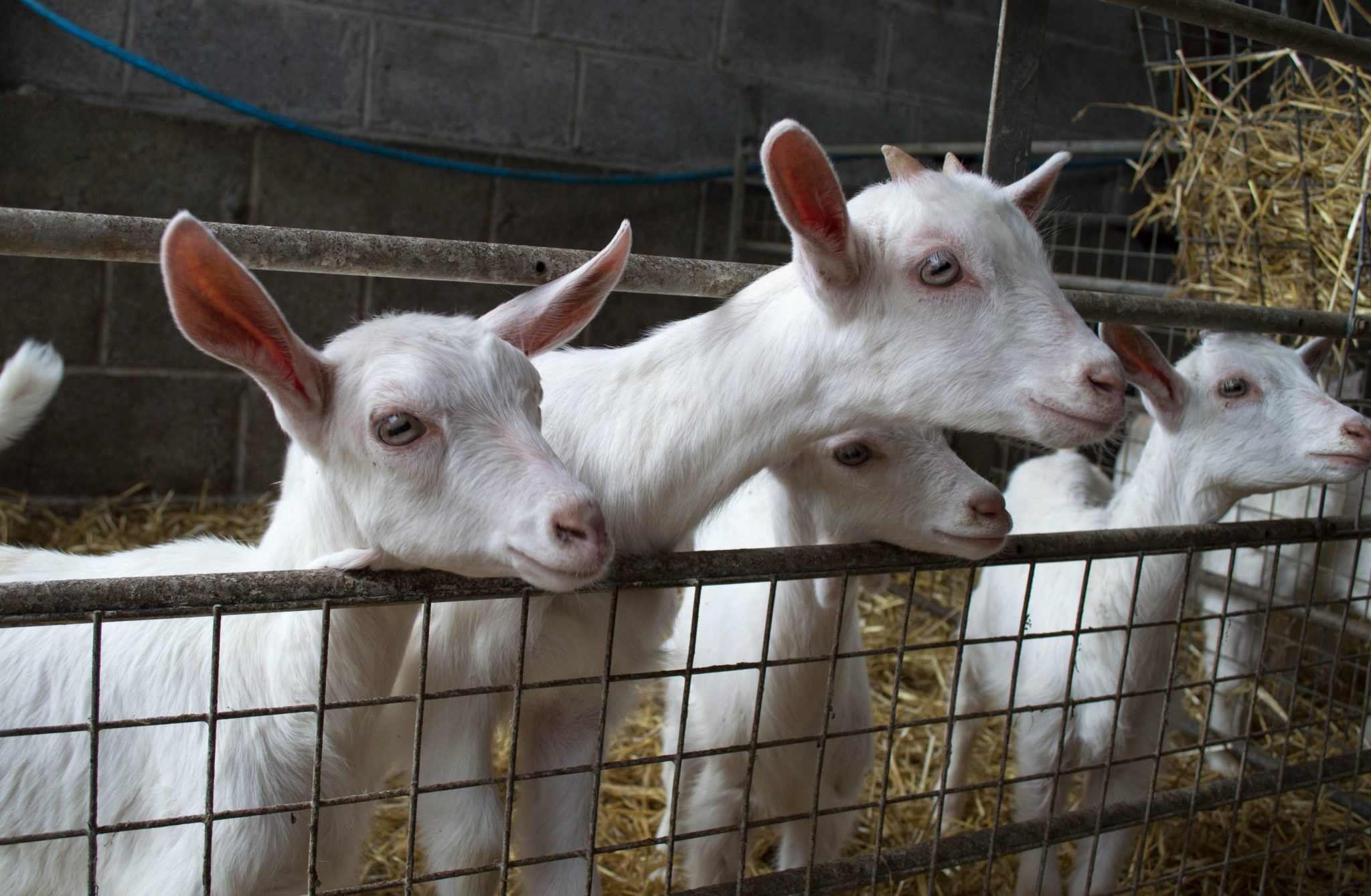 A group of young goats in a pen enclosure