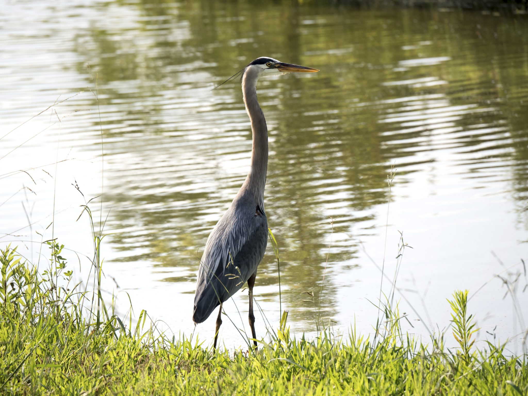 Tall bird standing beside pond