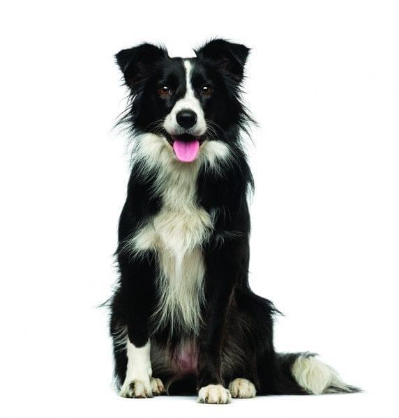 4-H Good Dog Project, Animals, Border Collie