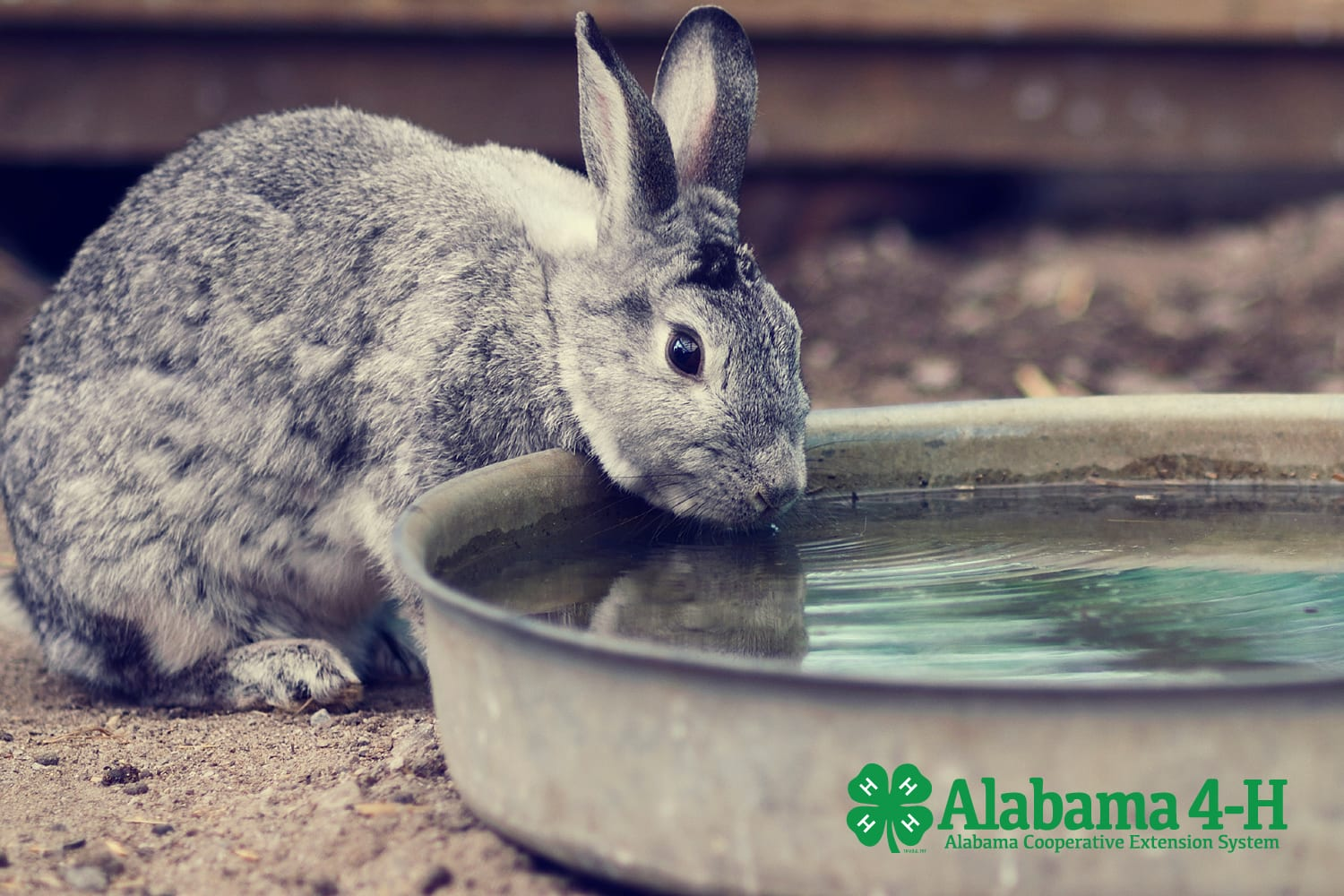 Alabama 4-H Rabbit Project; Hop 2 It bunny drinking water