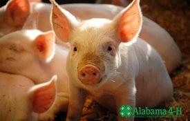 Alabama 4-H Livestock Skillathon; pigs