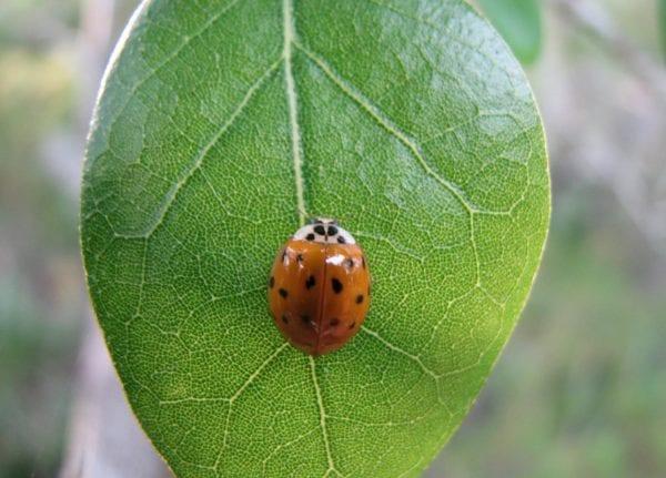 Adult lady beetle