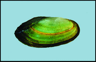 Unionid freshwater pearly mussel—paper pondshell (Photo courtesy of the Illinois Natural History Survey.)