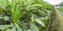 okra plants