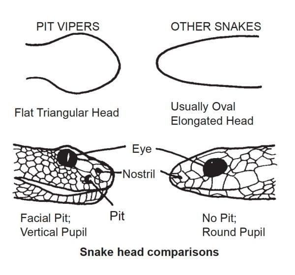 Snake head comparison