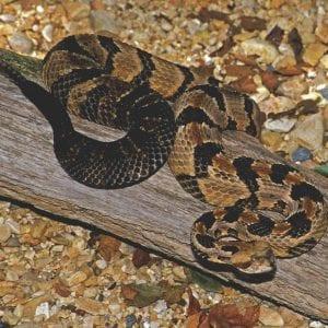 Timber Rattler Rattle Snake