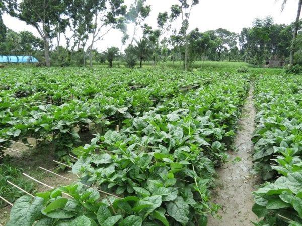 Malabar Spinach field