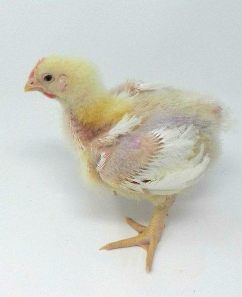 Broiler Chicken Day 19