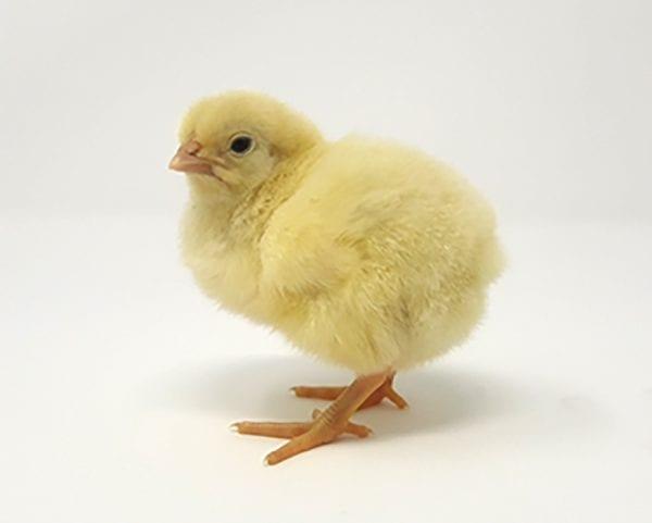 Broiler Chicken Development Day 1
