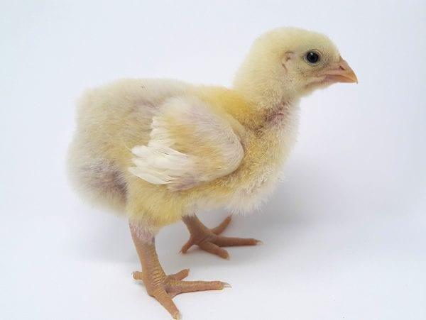 Broiler Chicken Day 7