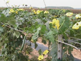 Ribbed gourd with flowers growing along trellis