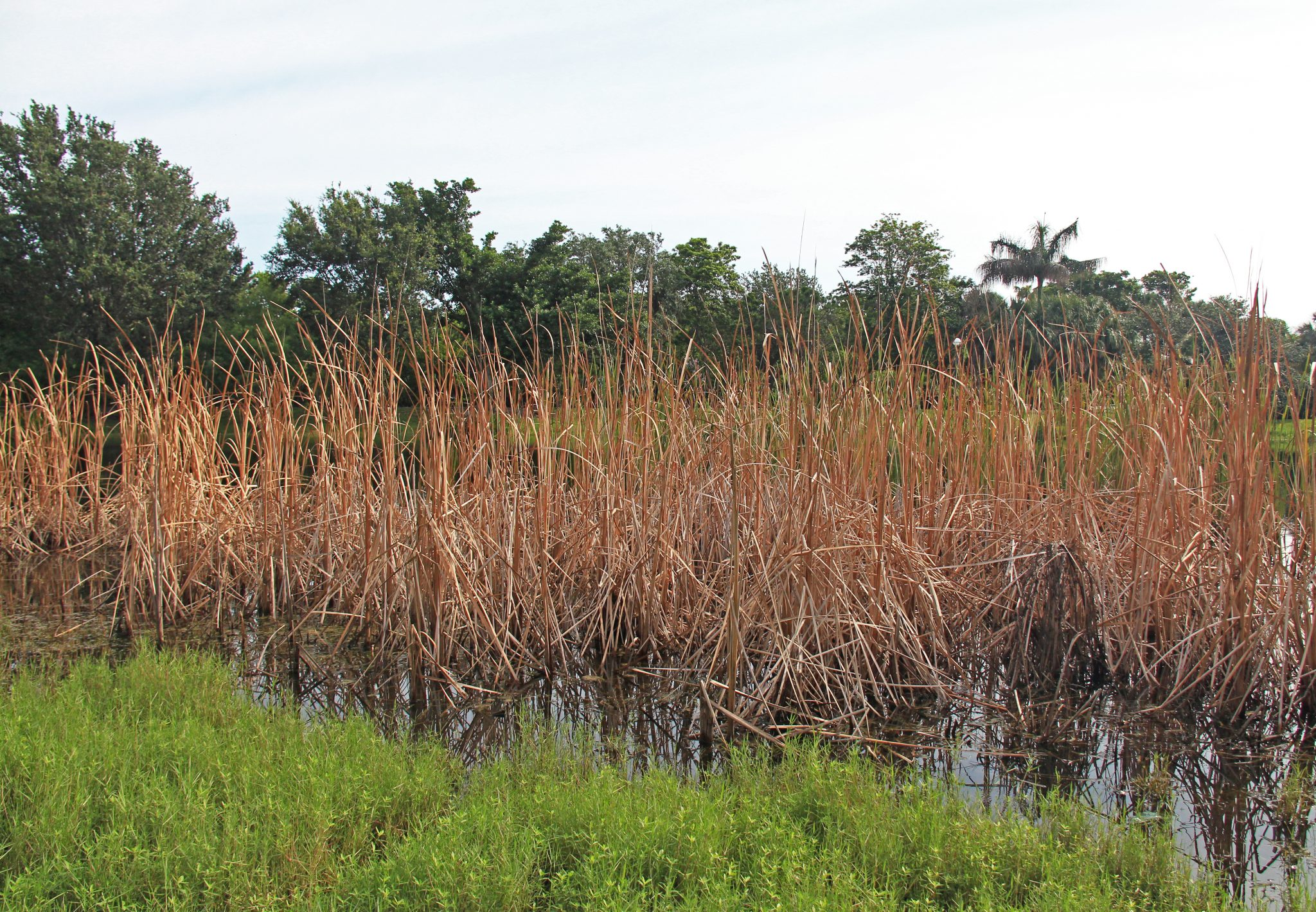 Cattails are aquatic plants. There are many species and they grow in temperate and tropical regions. They grow fast and often take up space in the water crowding out other plants.