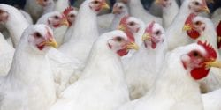 Flock of large white broiler chickens approximately 10 weeks