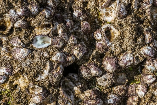 Wild oysters attached to the rock at low tide
