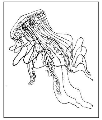 The sea nettle, Chrysaora quinquecirrha . Courtesy of the University of Delaware Sea Grant College Program