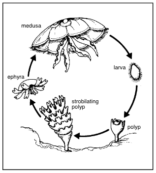 Generalized jellyfish life cycle. Courtesy of the University of Delaware Sea Grant College Program