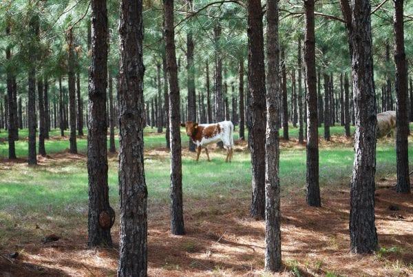 Cattle in a Silvopasture.