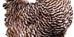 Barred Plymouth Rock hen.