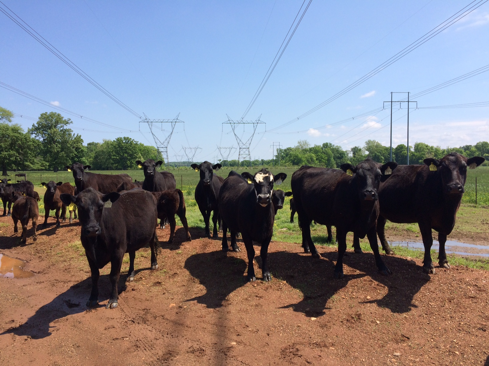 Herd of cattle standing in a pasture.