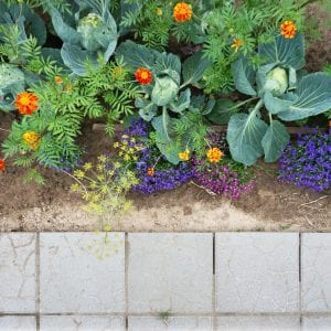 Flower bed of marigolds and cabbage and concrete pavement top view.