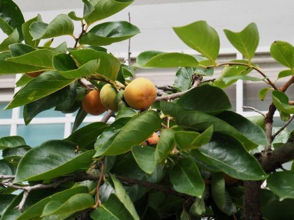Persimmon tree with fruit growing in urban garden