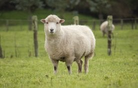 A ewe standing in a lush paddock.