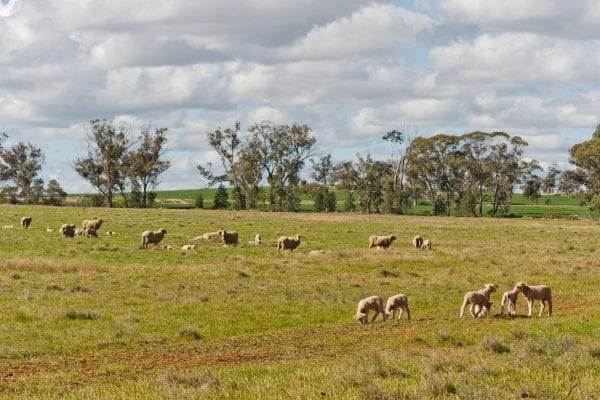 Mob of young lambs and ewes resting in a pasture