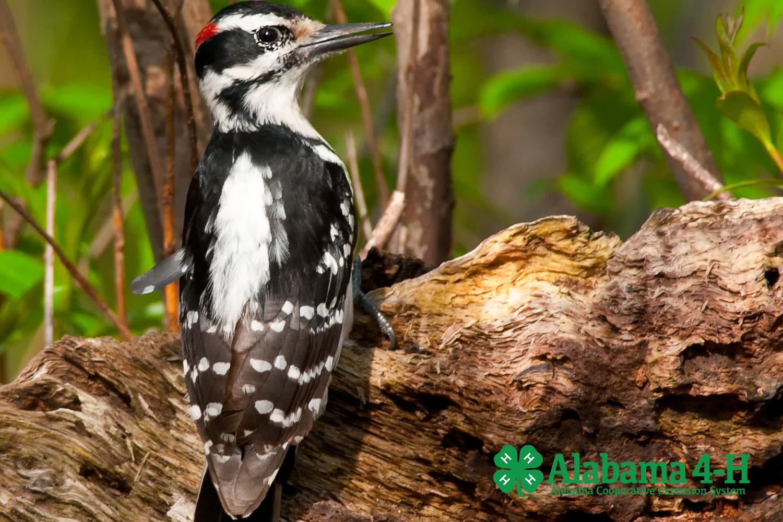 Alabama 4-H WHEP; bird on log