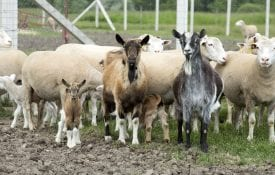 Goats and sheep outdoor on a farm