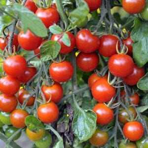 Cherry tomatoes ripening on the vine in a garden.