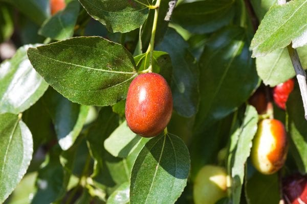 Close up of red fruit on Jujube tree