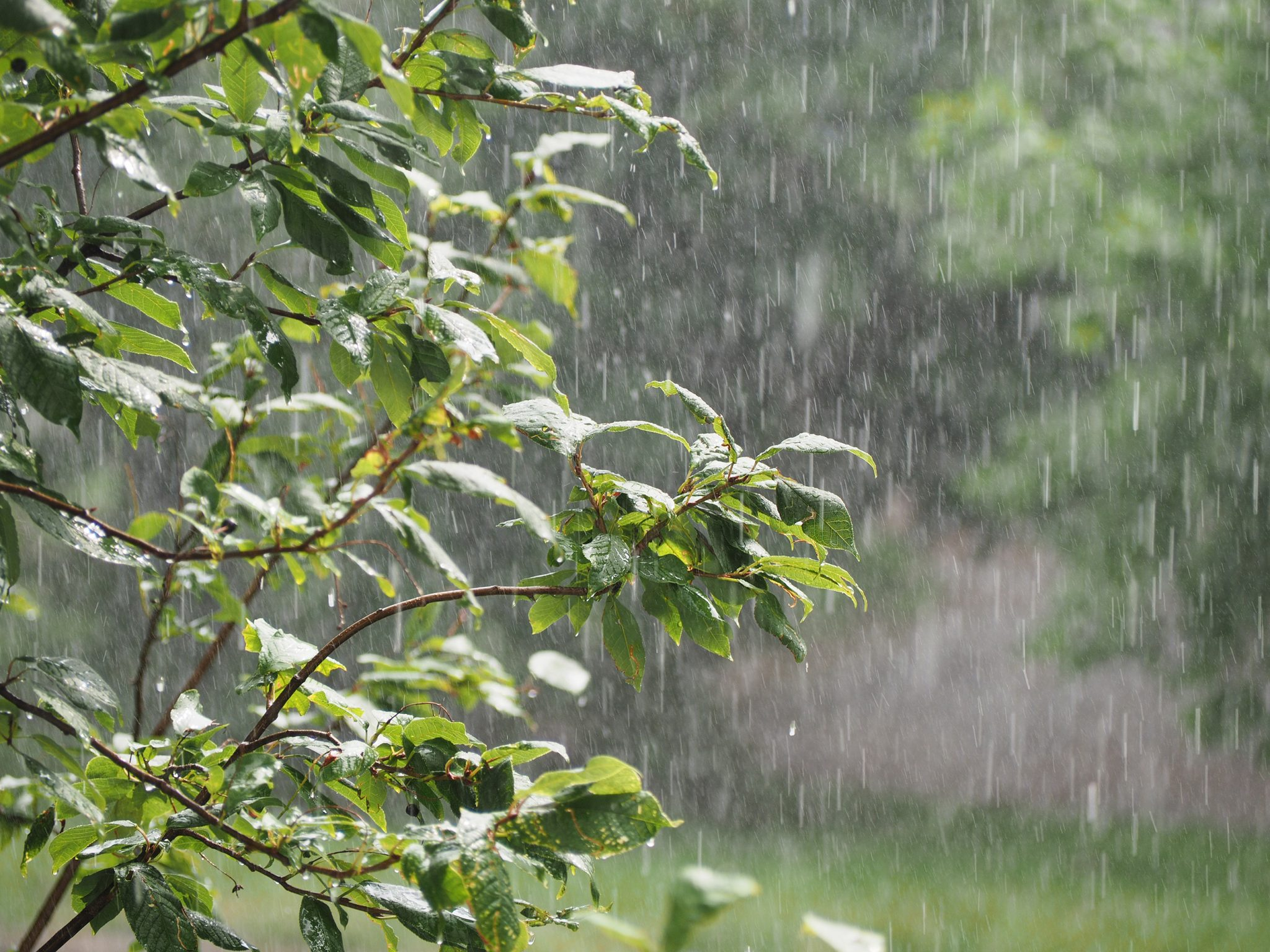 Rain shower in the garden. Downpour, pouring rain in the summer