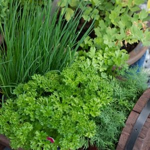 Kitchen herbs in a container garden: Parsley, Dill, Chives, Cilantro