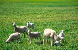 Sheep Production in the Southeast - Alabama Cooperative