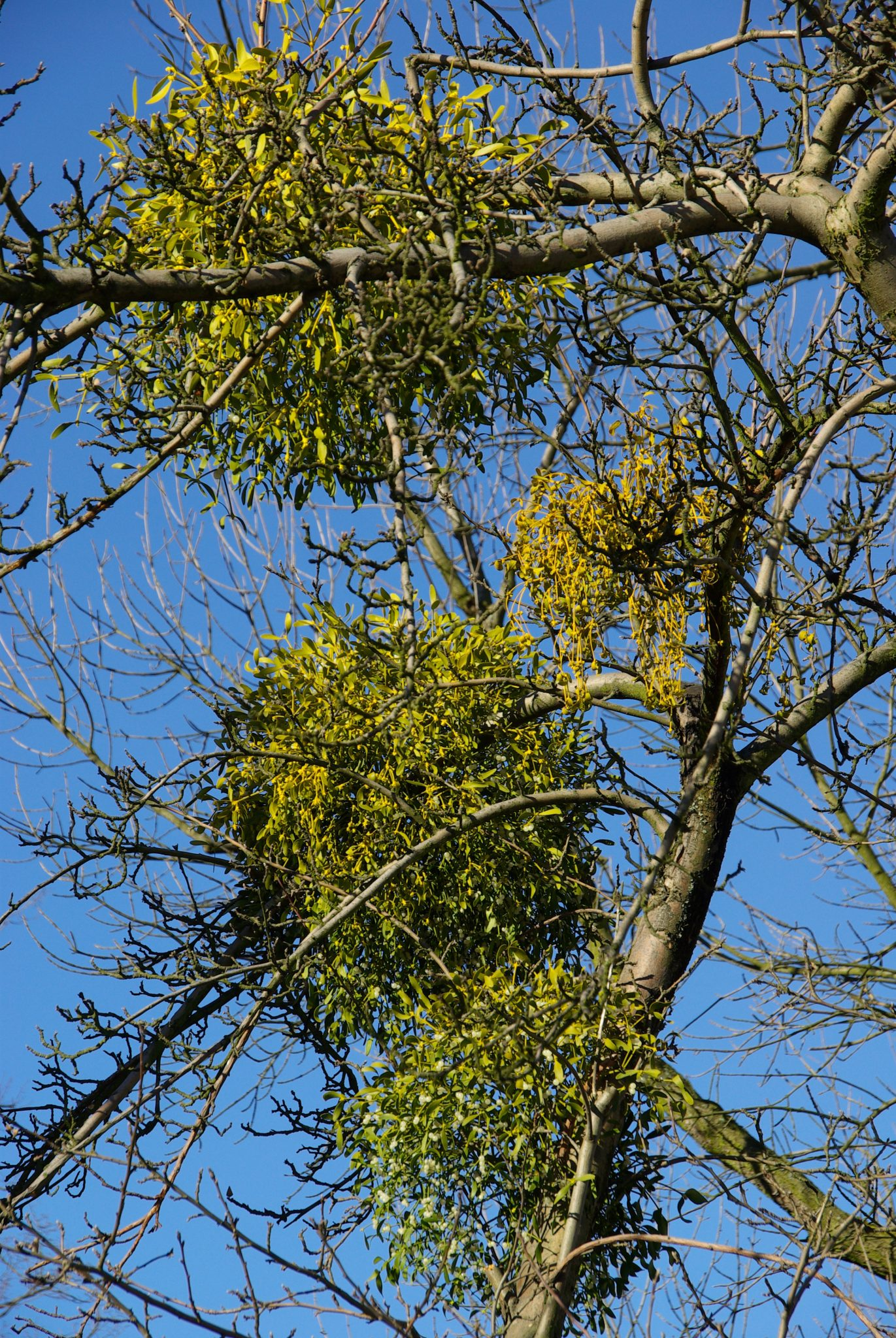 Controlling Mistletoe In Trees Alabama Cooperative Extension System